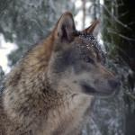 Kansa hurjana: Miten käy petokantamme jos fiktiivinen eläinten kilometrivero menee läpi?