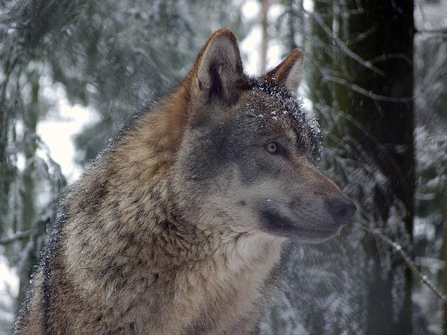 640px-Grauwolf_P1130275