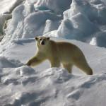 Jääkarhu joutui lopettamaan sekoilevan retkikunnan Huippuvuorilla